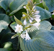 Hosta Bressingham Blue (Хоста Брессингхэм Блю)