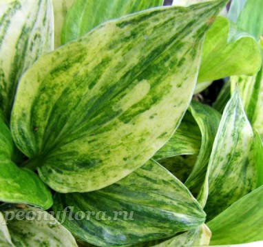 Hosta Cotton Candy (Хоста Коттон Кэнди)