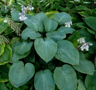 Hosta Devon Giant (Хоста Дейвон Джайнт)