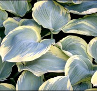 Hosta Earth Angel (Хоста Эс Энжел)