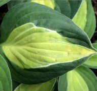 Hosta Gypsy Rose (Хоста Джипси Роуз)