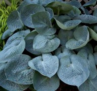 Hosta Love Pat  (Хоста Лав Пэт)