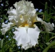 Ирис Devonshire Cream (Девоншир Крим)