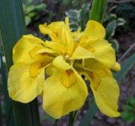 Ирис болотный flore pleno