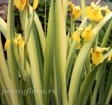 Ирис болотный variegata