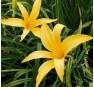 Лилейник Carolicolossal (Кероликэлосл)