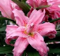Лилия восточная 'Дианта' (Lilium oriental 'Diantha')