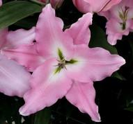 Лилия восточная 'Грация' (Lilium oriental 'Gracia')