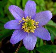 Анемона 'Робинзониана' (Anemone nemorosa 'Robinsoniana')