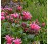 Монарда  Cranberry Lace (Кранберри Лейс)