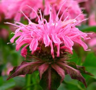Монарда Crofway Pink (Крофвей Пинк)