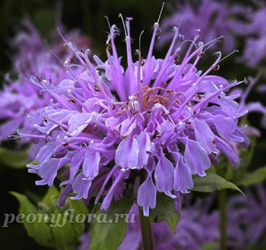 Монарда Elsie's Lavender (Элзис Лавендер)