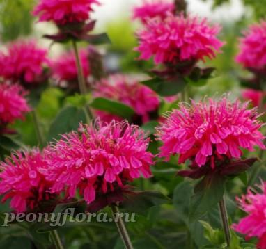 Монарда Pink Lace (Пинк Лейс)