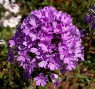 Флокс Luc's Lilac (Люкс Лайлек)
