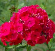 Флокс Peackok Cherry Red (Пикок Черри Ред)