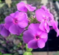 Флокс Purple Flame (Пёпл Флейм)
