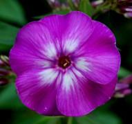 Флокс Purple Kiss (Пёпл Кисс)