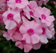 Флокс Rosa Pastel (Роза Пастель)