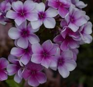 Флокс Пурпурная Капля