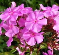 Флокс Розовая Пена