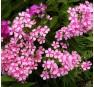 Флокс Розовые Бабочки