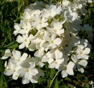 Флокс Сирень Белая