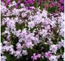 Phlox subulata Candy Stripes