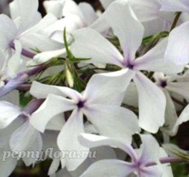 Phlox divaricata White Parfume