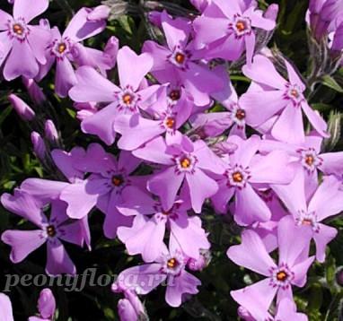 Phlox subulata Moerheimii