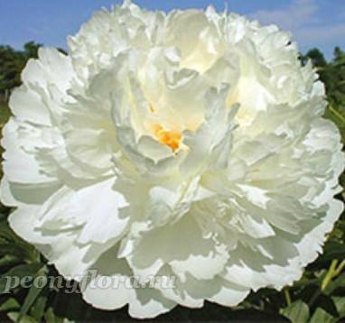 Пион Bowl of Cream (Боул оф Крим)