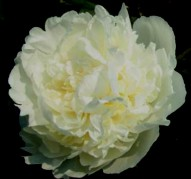 Пион Charlie's White (Чарлес Уайт)