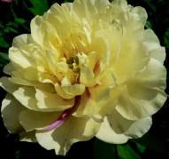 Пион Lemon Dream (Лемон Дрим)