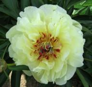 Пион Yellow Waterlilly (Еллоу Ватерлилли)