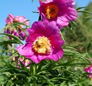 Видовые и садовые формы