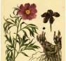 Пион уклоняющийся, Марьин Корень (P. anomala)