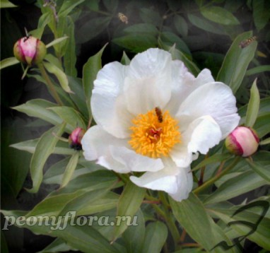 Пион  P. lactiflora ( молочноцветковый).