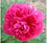 Пион лекарственный 'Розеа Плена'