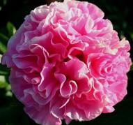 Пион Carnation Bouquet (Корнейшн Букет)