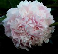 Пион Klem's Pink Unknown (Клем'с Пинк Анноун)