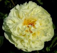 Пион Lemon Chiffon (Лемон Шиффон)