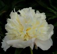 Пион Peachy Rose (Пичи Роуз)