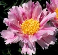 Пион Pink Firefly (Пинк Файер флай)