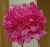 Пион Pink Jazz (Пинк Джаз)