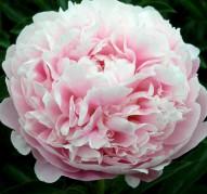 Пион Pink Radiance (Пинк Рейдианс)