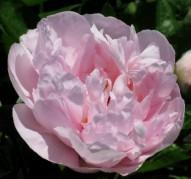 Пион Pink Vanguard (Пинк Вангуард)