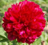 Пион Red Grace (Ред Грейс)