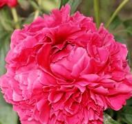 Пион Rosabel (Роузбель)