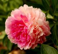 Пион Rose Heart (Роуз Харт)