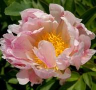 Пион Scatterbrain Pink (Скэттербрейн Пинк)
