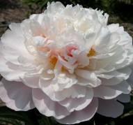 Пион Serene Pastel (Серин Пастель)